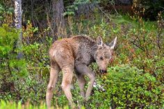 Cute Moose Photo by Jack Borno -- National Geographic Your Shot