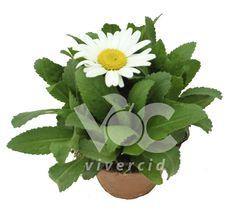 Leucanthemum M-14. Vivercid.