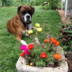 Boxer dog Jasper