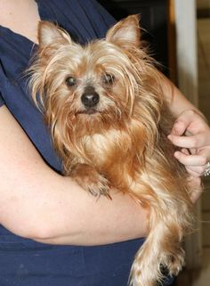 Alpine - Yorkshire Terrier boy looking for a new home in Oklahoma