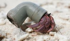 Hermit crab using a littered plastic pipe for a home..... Really!!! is this is what we're doing to mother nature!!!  soo sad! :k