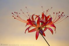 簪作家榮 2011彼岸花 簪 紅 Japanese hair accessory -Red spider lily Kanzashi- by Sakae, Japan http://sakaefly.exblog.jp/ http://www.flickr.com/photos/sakaefly/