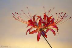簪作家榮 2011彼岸花 簪 紅 Japanese hair accessory -Red spider lily Kanzashi- by Sakae, Japan   http://sakaefly.exblog.jp/   http://www.flickr.com/photos/sakaefly/