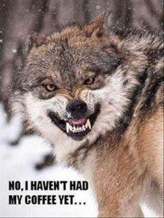 coffee wolf meme snarl mornings mondays