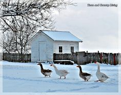 Marching geese