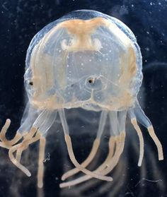 Australian Box Jellyfish  Also known as the sea wasp, this salad-bowl sized jellyfish can have up to 60 tentacles each 15 feet long. Each tentacle has 5,000 stinging cells and enough toxin to kill 60 humans.