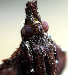 By Peter Cristofono - https://flic.kr/p/7FSXcp   Boxwood Leaftier Moth   Family: Pyralidae. Species: Galasa nigrinodis (Zeller, 1873). Hodges #5552. (Salem, MA)