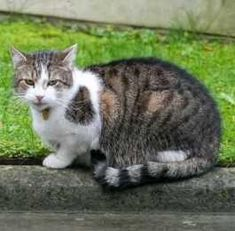 British First Cat Larry Struts His Stuff Outside 10 Downing Street...see more at PetsLady.com -The FUN site for Animal Lovers