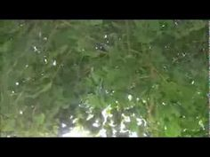 The cicada sings