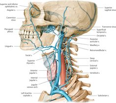 Veins of the neck -Left lateral view. The principal veins of the neck are the internal, external, and anterior jugular veins.