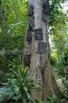 On the island of Sulawesi, in Indonesia, newborn infants who die are buried in the trunks of giant trees. The people there believe that the child's soul will rise up into the heavens through the tree