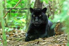 If a Black Jaguar shows up, it means:  Express and enjoy your sensuality and your passion in as many ways as possible and as much as you can. For your personal and spiritual growth, it's time to face your fears squarely and let them go. Stop worrying about everything, surrender to what is and let the future take care of itself.