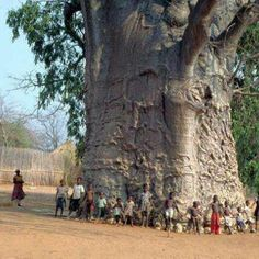 lavitaebella69:    lavitaebella69  2000 years old tree in South Africa known as tree of life (Baobab)
