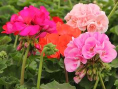 Rocky Mountain geraniums
