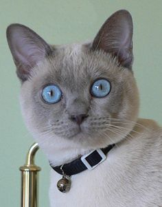 My silly Jimmy won Best Adult in a Tonkinese Breed Association photo contest.  What a goof!