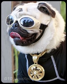 Decked out pug.  I love the bling!