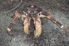 This isn't your ordinary sea crab. These things are HUGE and live on land…