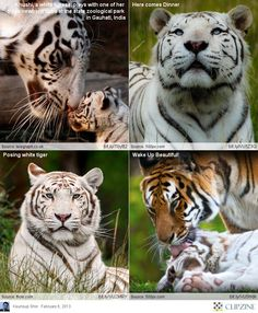 Tigers and their kids: adorable!