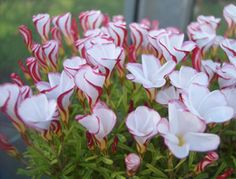 Oxalis Versicolor  Beautiful South African plant flowering from December through to end of February. White flowers with red edge to outside of petals, which gives spiral effect.