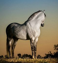 Puro Sangue Lusitano stallion. photo: Raphael Macek.