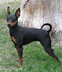 Miniature Pinscher breed info,Pictures,Characteristics,Hypoallergenic:No Black Dogs Breeds, Toy Dog Breeds, Small Dog Breeds, Mini Pinscher, Miniature Pinscher, All Dogs, Dogs And Puppies, Le Chihuahua, Dog Toys