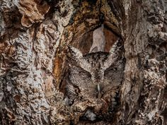 Camouflaged-Owls-Within-Trees-8