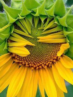 ❥ sunflower waking up by rosebud2