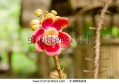 Closeup of Cannonball flower - stock photo