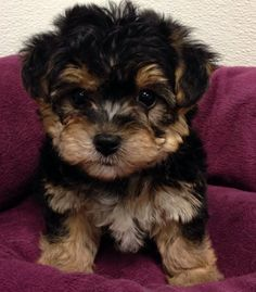 The Many Things I Like About The Affectionate Yorkie Puppy