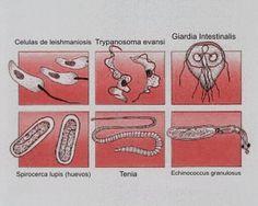 Las medicinas que matan a los parásitos en el organismo