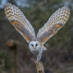 ideas for bird wings tattoo barn owls Owl Photos, Owl Pictures, Beautiful Owl, Animals Beautiful, Wildlife Photography, Animal Photography, Animals And Pets, Cute Animals, Owl Wings