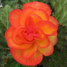 Tuberous Begonia 'Nonstop Fire' - If you want to add a punch of colour to your shady spot this Begonia is more than capable. Does well in shade to partial sun.