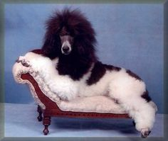 phantom poodle pictures | Angele carries for cream, blue, apricot, silver, brown and various ...