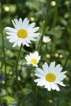 Perennials for sunny locations - Perennial Power Absolutely Gorgeous, Beautiful, Simple Flowers, Flowers Perennials, Plant Design, Be Perfect, Blue Yellow, Outdoor Gardens, Sunnies