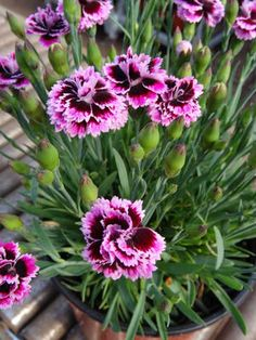 Dianthus Everlast Lilac + Eye(Border Carnation) - is-sit tiegħi Dianthus Flowers, Flowers Perennials, Planting Flowers, Flowering Plants, Sweet William Flowers, Flower Power, Dianthus Caryophyllus, Backyard Birds, Gardens
