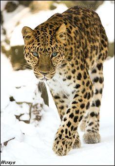 Amur leopard (Panthera pardus orientalis, Levhart mandzusky) from ZOO Olomouc, Czech republic