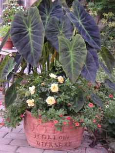 Elephant Ears!  WOW!  Great height in a container garden