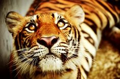 Tigers are like domestic house cats  in that a great deal of their time is spent resting or sleeping. A tiger will spend between 16 and 20 hours each day doing very little apart from lying in the shade