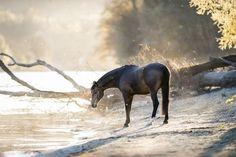 Extremely beautiful horse pictures #horses#horse#horselovers#horselove#lovinghorses#beautifulhorsepictures#horseriding#stunninghorses#beautifulhorses#loveforhorses#stallions#polopony#pony#whitehorses#equestrian#marwarihorse#marwari#thoroughbred#ponies#horsepictures#horsephotography#horsebackriding#LAPOLO Beautiful Horse Pictures, Some Beautiful Images, Beautiful Horses, Equine Photography, Winter Photography, Polo Horse, Horse Photos, Horse Training, Horse Breeds
