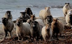 The famous seaweed eating North Ronaldsay sheep Sheep Breeds, Orkney Islands, Counting Sheep, Down On The Farm, Love At First Sight, Historical Fiction, Farm Animals, Goats, Camel