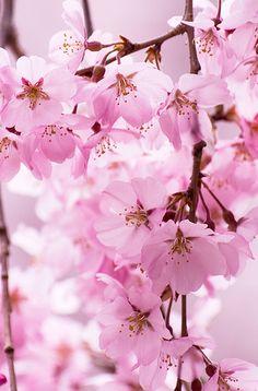 sakura #japan #nara
