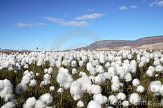 My most popular stock photograph to date.  Taken in the High Arctic.  Download Arctic Cotton Grass Scene Stock Images for free or as low as C$0.23CAD. New users enjoy 60% OFF. 21,575,189 high-resolution stock photos and vector illustrations. Image: 3857934