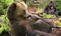 Adorable bear cub cuddles up to its mother and gives her a peck