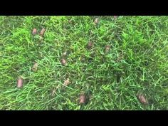 YouTube - overseeding with core aeration & compost