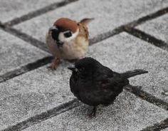 カラスじゃなくてアルビノの逆のメラニズムのスズメさんだそう pic.twitter.com/aQv5bFg8Oe