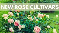 How Are Rose Varieties Developed? Rose Varieties, Horticulture, Training, Plants, Garden Planning, Work Outs, Excercise, Plant, Onderwijs