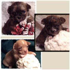 Chihuahua baby's ready soon reserve yours today www.jnjpugsnpaps.com
