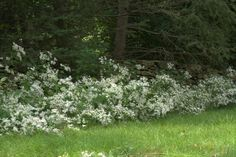 """White Wood Aster is an excellent plant for a natural woodland """"edge"""" to link your lawn with nearby woods. Pollinators find ample supplies of nectar and pollen in the aster's pale late summer blooms, and if you leave their seedheads standing into winter, birds can feast on the numerous seeds produced late in the season."""