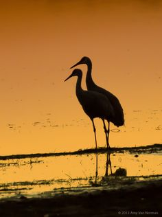 Sandhill Crane Sihouettes -- Together