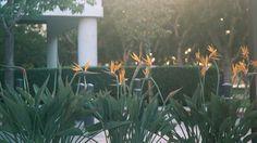 Bird of Paradise plants in San Diego. Photo credit Chuck Eirschele.